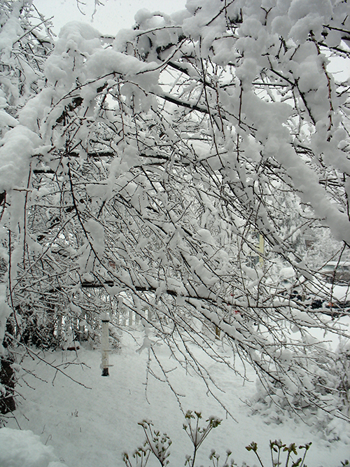 photo of newly fallen snow on tree branches
