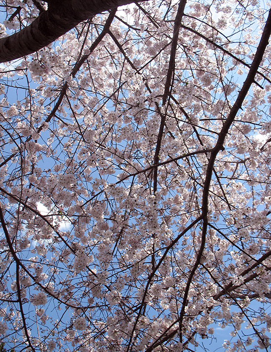 photo of cherry blossom boughs against blue sky