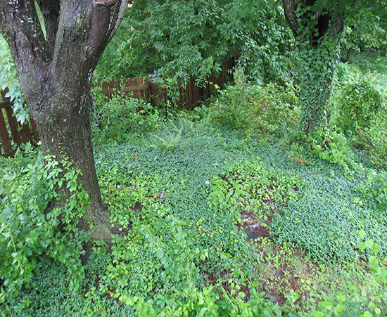 Periwinkle, ivy, and ferns beneath two maples