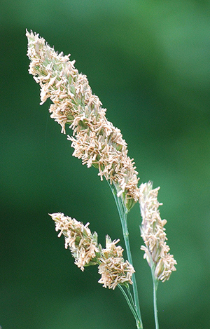 Cocksfoot, a wild grass