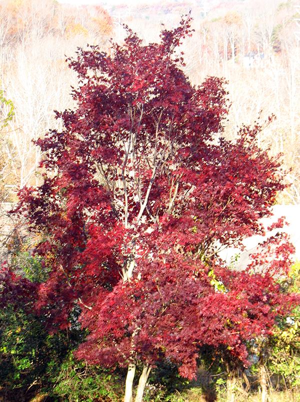 Autumn flame 600 px