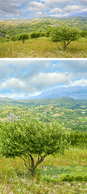 olice grove landscape photo purchased from Dreamstime