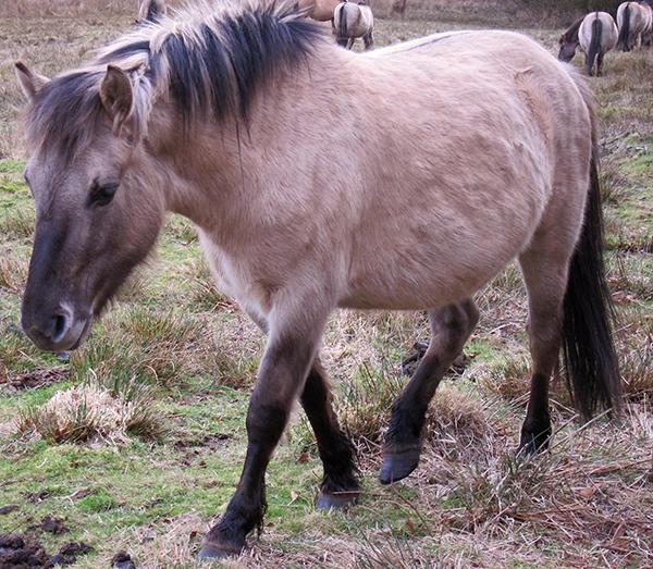 Equus ferus caballus pony