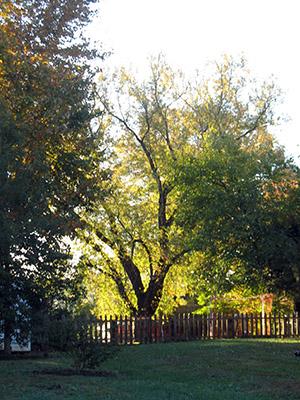 sunny-tree-300-px